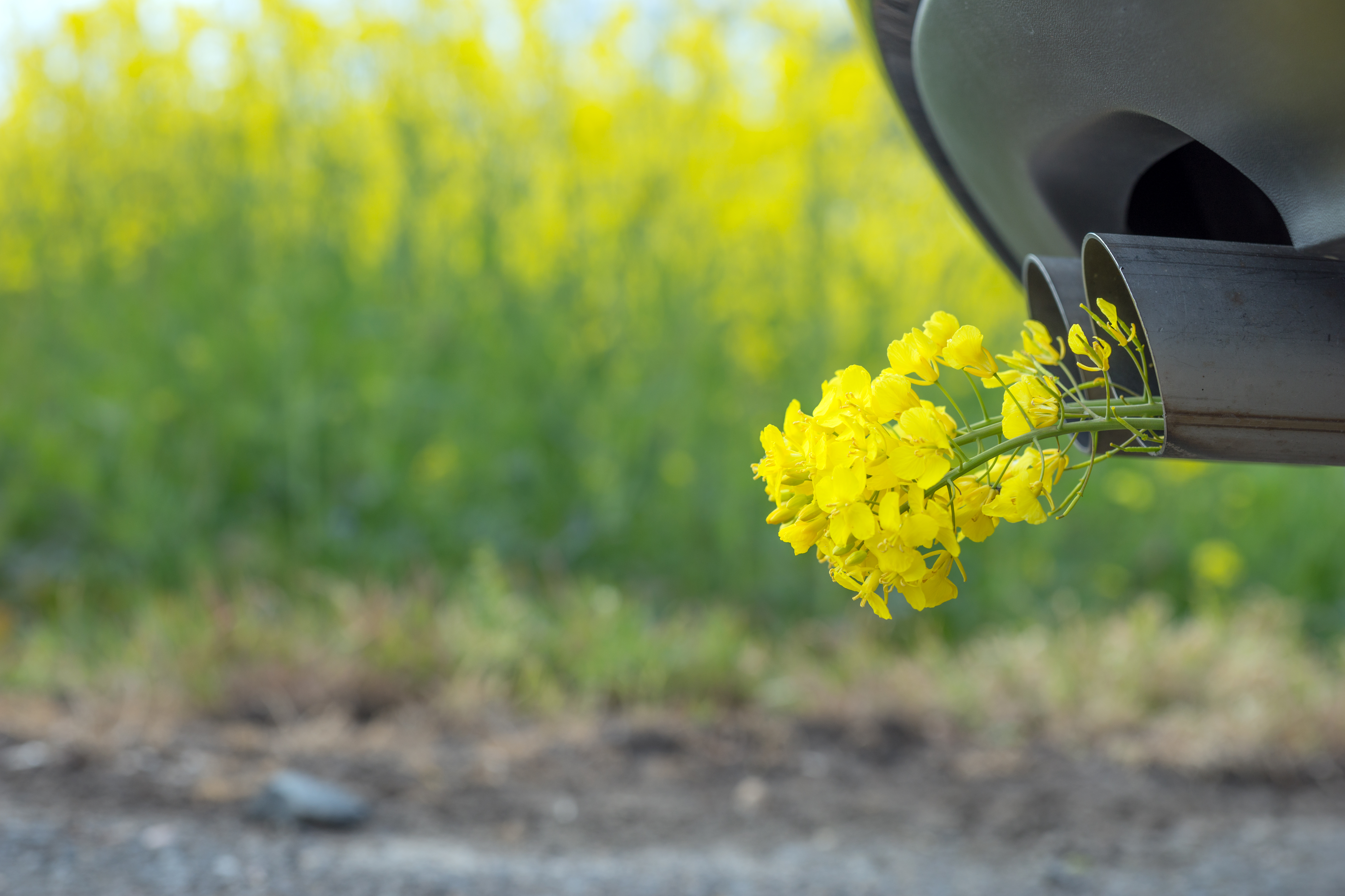 Close up of a vehicle's exhaust pipe with yellow flowers coming out of it, against a backdrop of a field of yellow flowers